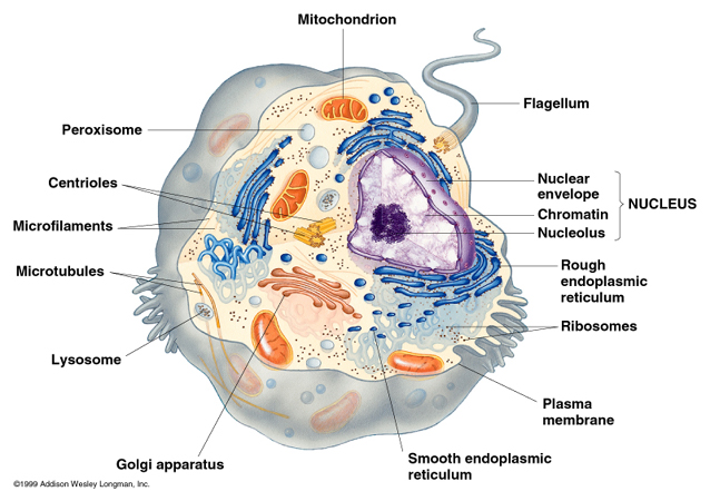 ... cell model project cell illustrations plant cell animal cell